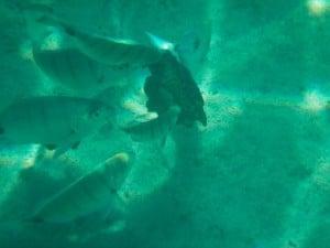 Unterwasseraufnahmen auf Lanzarote - Fische beim Fressen