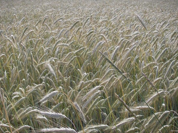Weizenfeld im Juli