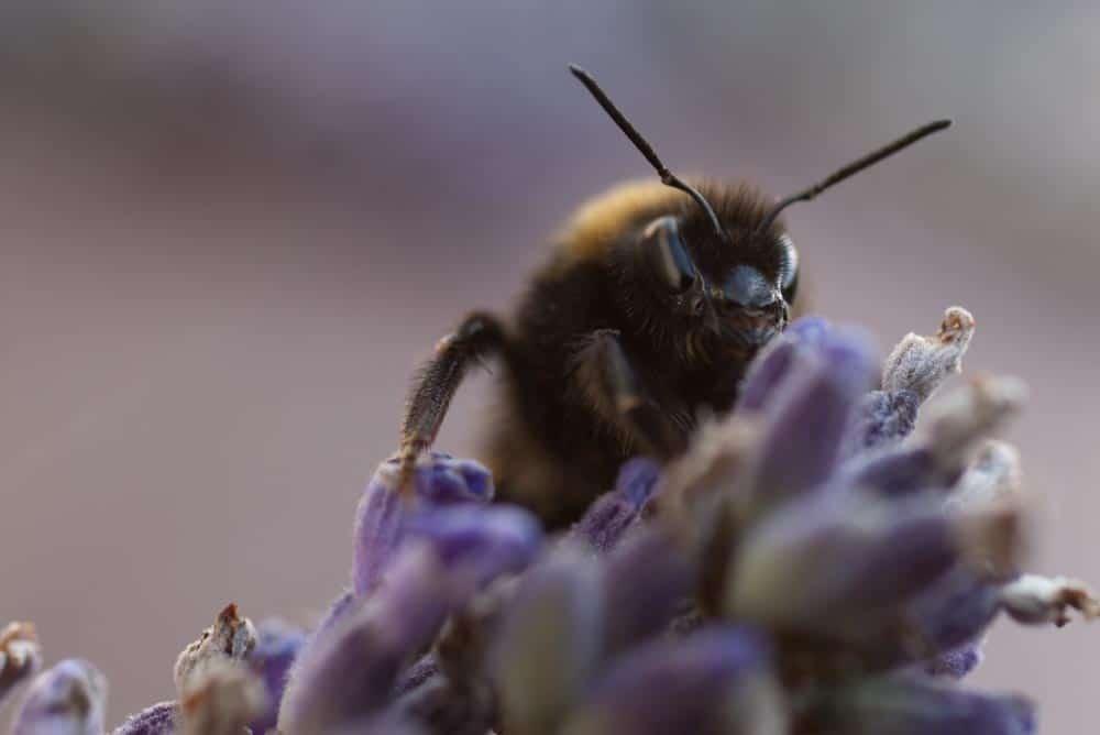 Hummel auf Lavendel - gut zu sehen: Die Facettenaugen
