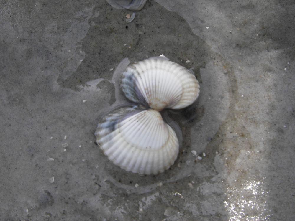 Herzmuschel aus der Nordsee