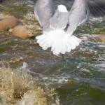 Möwe bei der Seehundfütterung
