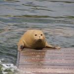 Kunststücke der Seehunde