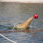 Robben im Westküstenpark spielen im Wasser