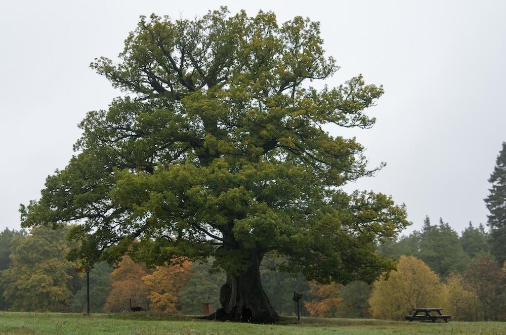 Die über 400 Jahre alte Eiche im Löwenzahnpfad Drei Annen Hohne im Nationalpark Harz