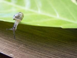 Kleine Schnecke auf einem Kirschlorbeerblatt