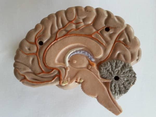 Unser menschliches Gehirn